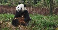 pfl-chengdu-panda